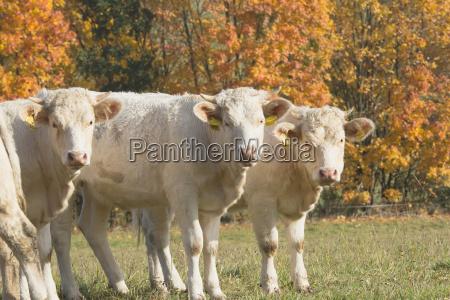 three white cow standing on pasture