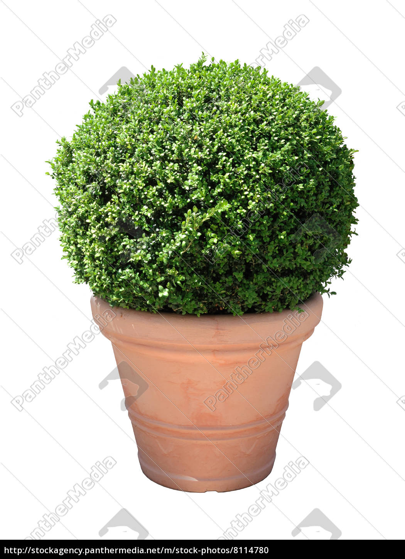 buchsbaum kugel im terracotta-topf freigestellt - lizenzfreies foto