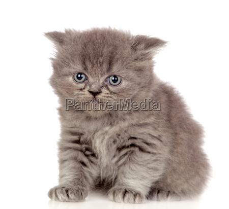 hermoso gatito angora con pelo gris