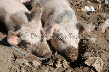 schweine im schlamm