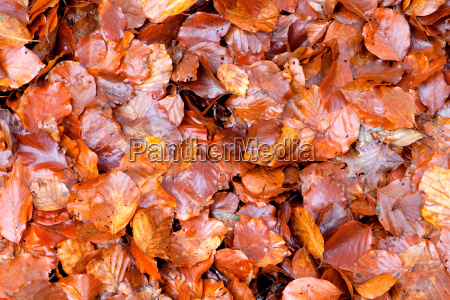 many brown wet leaves