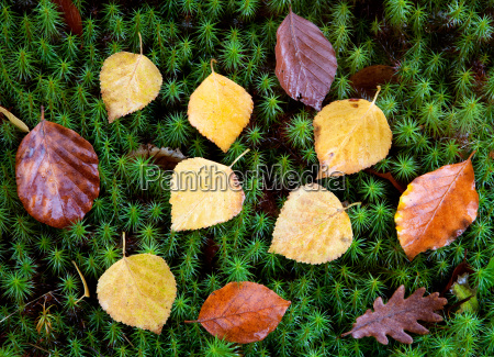 autumn leaves on green moss