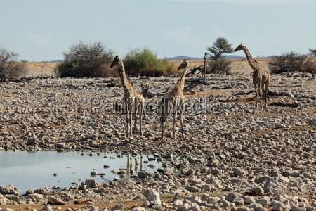 angola giraffen