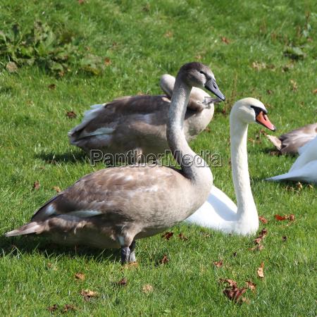 bird swans swan birds waterfowls waterfowl