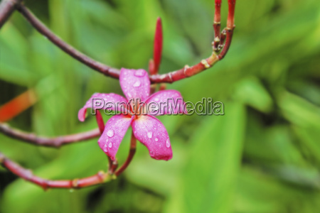 lonesome pink fluted hibsiscus in monsoon