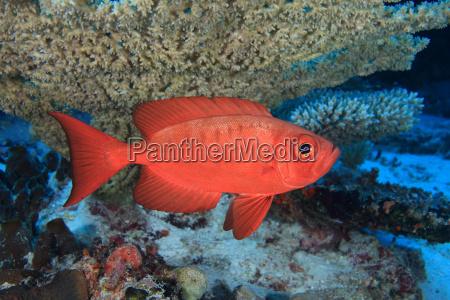 common bigeye grouper