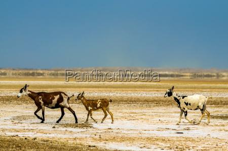 three goats in a desert