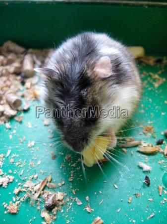 grau hamster mit einem stueck kaese