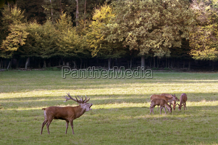 male red deer in the rut