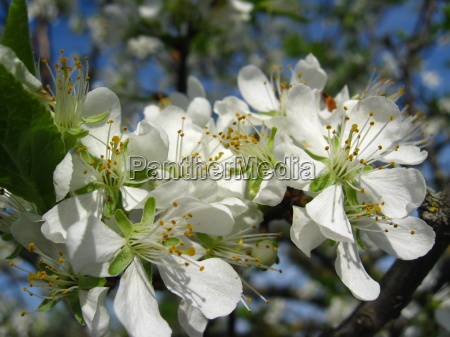 blossoming tree of plum