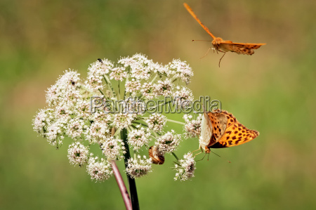 two orange butterflies with flower