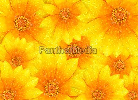 frische gelbe blueten hintergrund