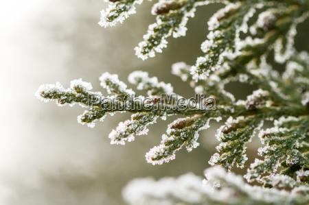 hoarfrost on thuja twig
