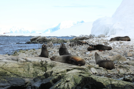 seeloewen in der antarktis