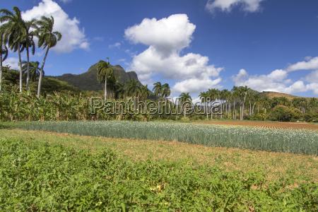 flowering onion field under palm trees