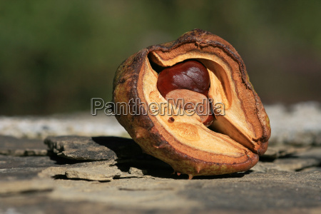 a well protected chestnut