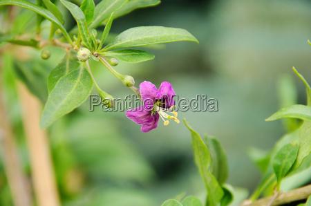 goji bluete goji berry flower