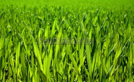 dense fresh grass in closeup