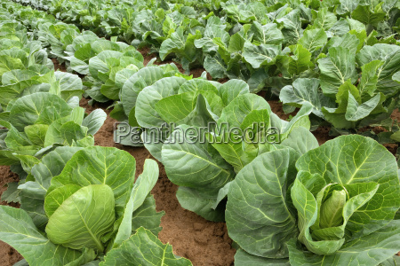 rows of cabbage plants before harvest