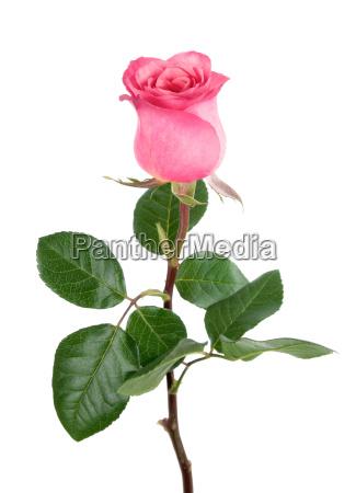 entzueckende rose in rosa auf weiss