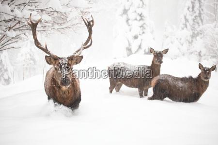 hirsche im schneegestoeber
