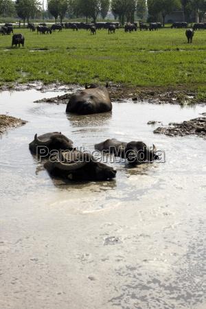 tier kuh farm suesswasser teich tuempel