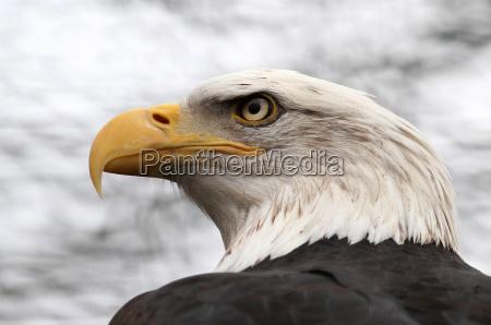 haliaeetus leucocephalus the bald eagle