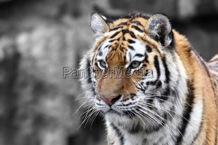 panthera tigris der tiger