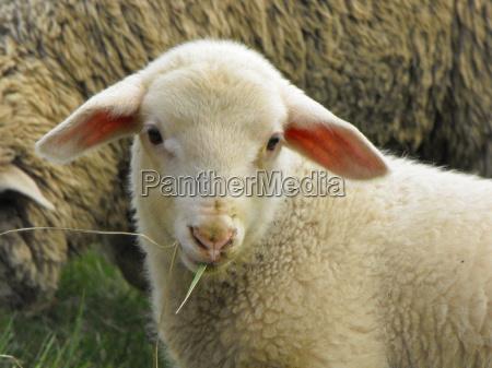freundlich blickendes lamm