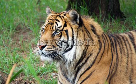 tier saeugetier katze raubkatze grosskatze tiger