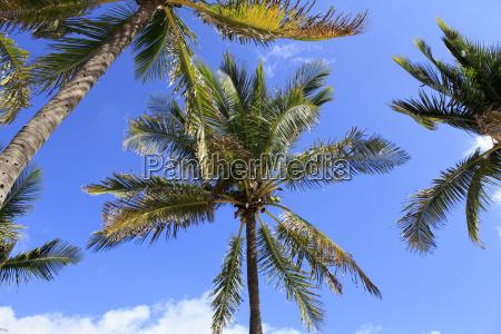 cocoanut palm trees sky background