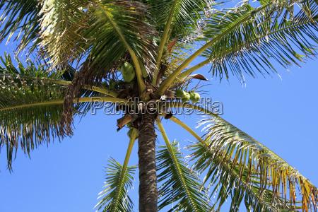cocoanut tree background