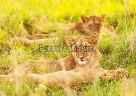 afrikanische loewenbabys