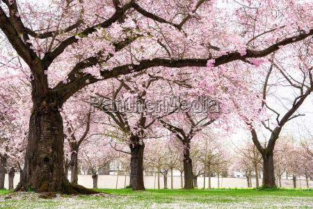 blossoming cherry trees in dreamy beauty