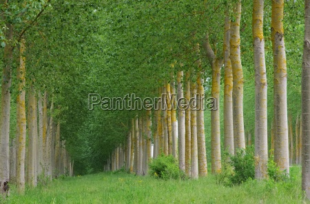 pappelwald populus forest 10