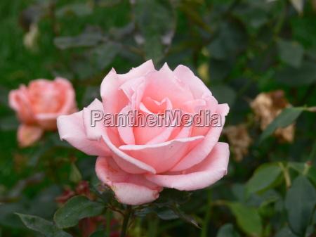 rose - 8850014