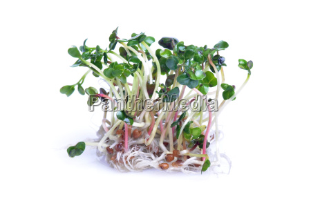 sprouts on white background