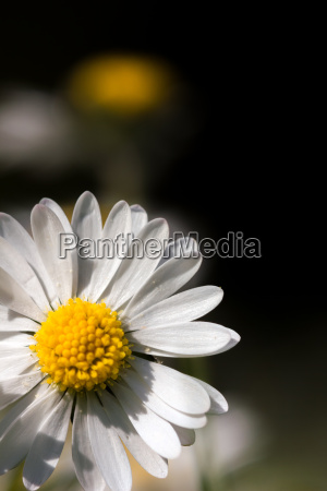 daisy blossom macro dark