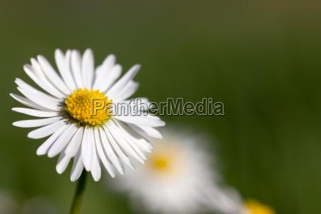 daisy blossom macro on green