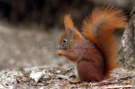 the squirrel sciurus vulgaris