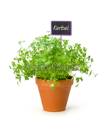 chervil in a clay pot with