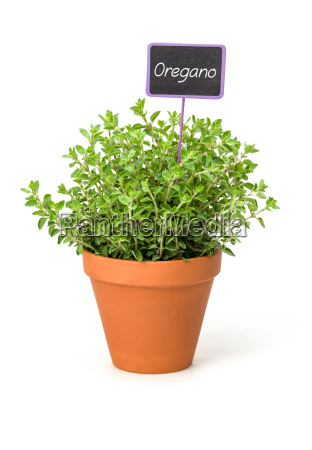 oregano in clay pot with plant