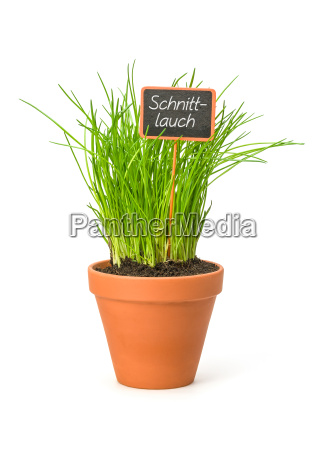 chives in a clay pot with