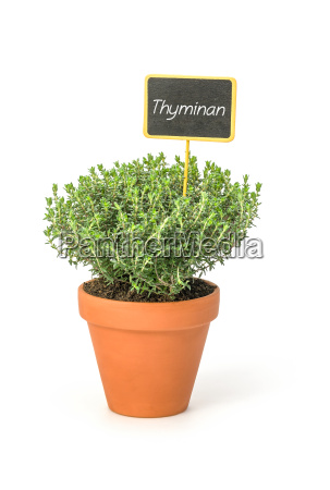 thyme in clay pot with plants