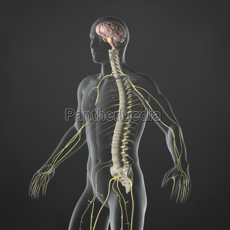 nervoeses system