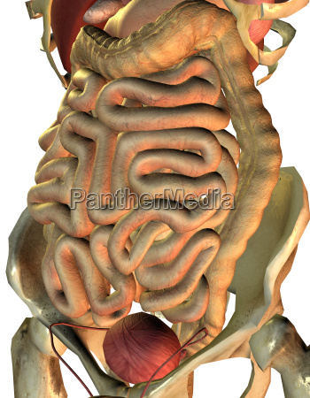 gesunde innere organe vom mann