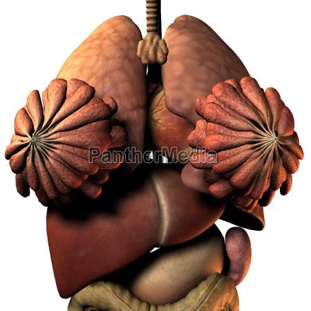 innere organe der frau