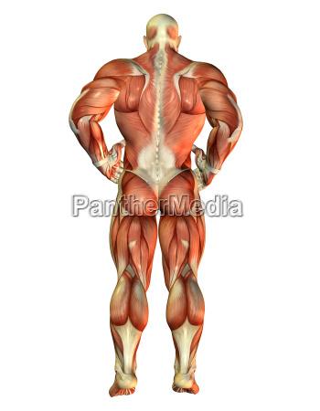 muskel body builder ruecken ansicht
