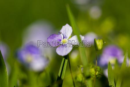 macro of a purple lady smock