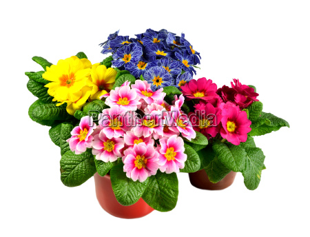 primroses in a flower pot